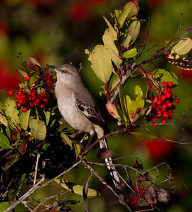 Mockingbird  Rosacrutian Center Oceanside 2011 11 17 (2 of 3).CR2