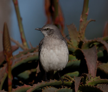 Northern Mockingbird Carlsbad 2010 12 02-2.CR2