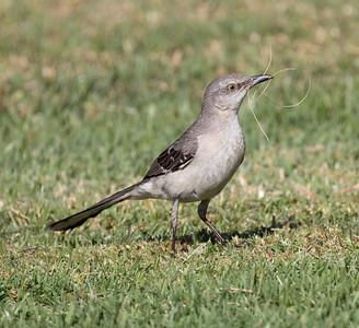 Northern Mockingbird Aviara 2021 06 12-217.CR3