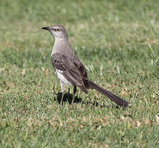 Northern Mockingbird Aviara 2021 06 12-216.CR3