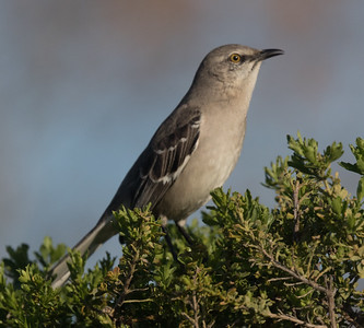 Northern Mockingbird Carlsbad 2020 01 23-2.CR2