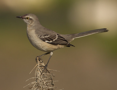 Northern Mockingbird  Batiqquitos Lagoon 2013 09 13.CR2
