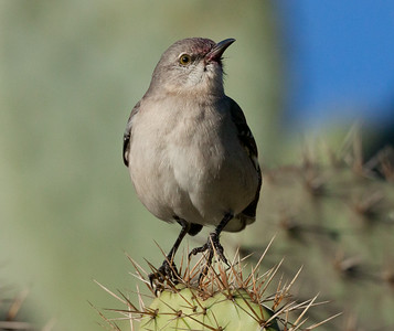 Northern Mockingbird San Dieguito River 2011 01 23 (1 of 1).CR2