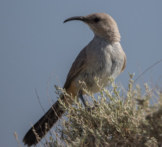 LeConte's Thrasher Harper Dry Lake 2018 05 18-1.CR2