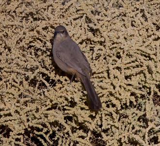 Le Conte`s Thrasher Clark`s Dry Lake 2015 11 14-2.CR2