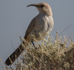 LeConte's Thrasher Harper Dry Lake 2018 05 18-4.CR2