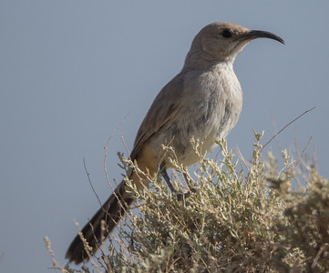 LeConte's Thrasher Harper Dry Lake 2018 05 18-2.CR2