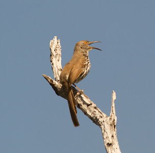 Long-billed Thrasher Santa Ana NWR Texas 2012 03 22-2557.CR2