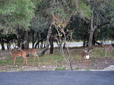 Visiting Gerry and Yvonne Fitzgerald in San Antonio/Lake Hills, Texas -- Deer in the Yard