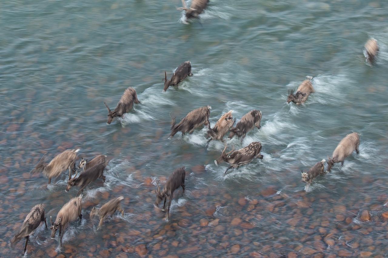 Porcupine caribou migration Blow River.