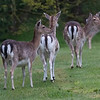 Dådyr / Fallow Deer <br /> Hou, Danmark 22.5.2015<br /> Canon 7D Mark II + Tamron 150 - 600 mm 5,0 - 6,3 @ 428 mm