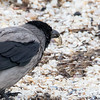 Kråke / Hooded Crow<br /> Sæby, Danmark 28.5.2015<br /> Canon 7D Mark II + Tamron 150 - 600 mm 5,0 - 6,3 @ 552 mm