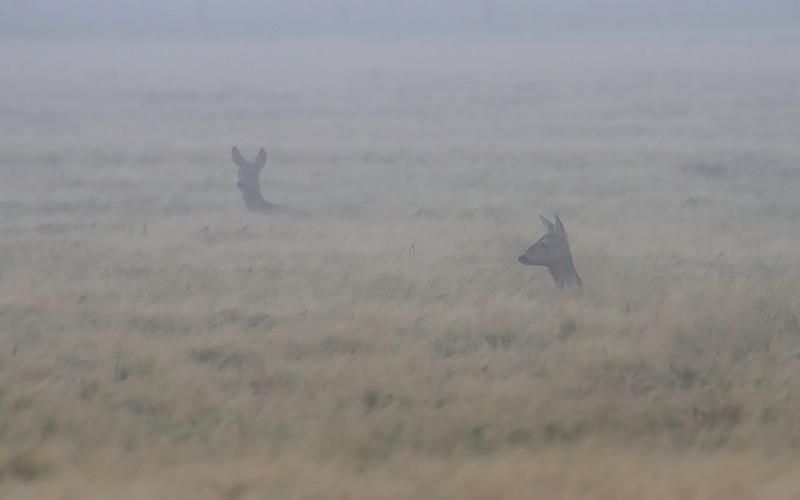 Rådyr / Roe Deer<br /> Ottenby, Øland, Sverige 21.7.2014<br /> Canon EOS 7D + Tamron 150 - 600 mm 5,0 - 6,3 mm