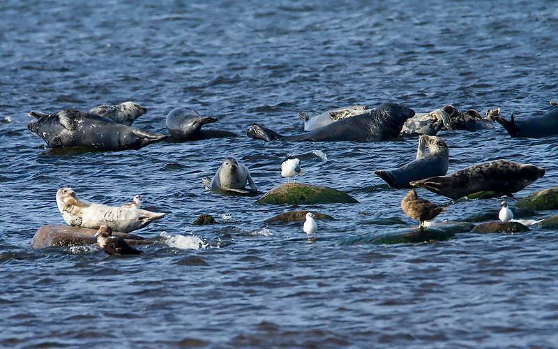 Havert / Grey Seal<br /> Ottenby, Øland, Sverige 21.7.2014<br /> Canon EOS 7D + Tamron 150 - 600 mm 5,0 - 6,3