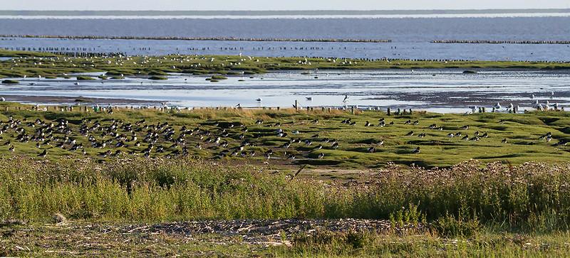 Tjeld / Eurasian Oystercatcher<br /> Vadehavet, Danmark 16.7.2014<br /> Canon EOS 7D + Tamron 150 - 600 mm 5,0 - 6,3