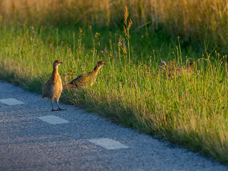 Fasan / Pheasant<br /> Vomb, Skåne, Sverige 19.7.2014<br /> Canon EOS 7D + Tamron 150 - 600 mm 5,0 - 6,3