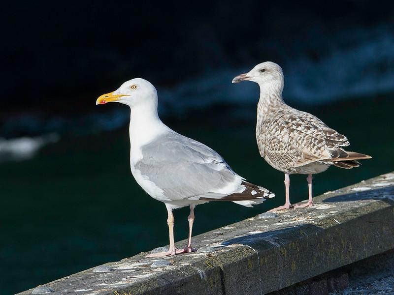 Gråmåke / Herring Gull<br /> Spodsberg, Fyn, Danmark 17.7.2014<br /> Canon EOS 7D + Tamron 150 - 600 mm 5,0 - 6,3