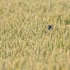 Kornspurv / Corn Bunting<br /> Hou, Danmark 11.7.2014<br /> Canon EOS 7D + Tamron 150 - 600 mm 5,0 - 6.3