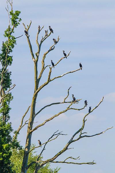Storskarv / Great Cormorant<br /> Astrup, Langeland, Danmark 17.7.2014<br /> Canon EOS 7D + Tamron 150 - 600 mm 5,0 - 6,3 @ 329 mm