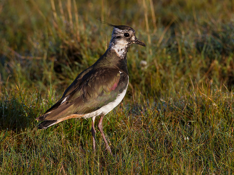 Vipe / Northern Lapwing<br /> Ottenby, Øland, Sverige  21.7.2014<br /> Canon EOS 7D + Tamron 150 - 600 mm 5,0-6,3 @ 500 mm