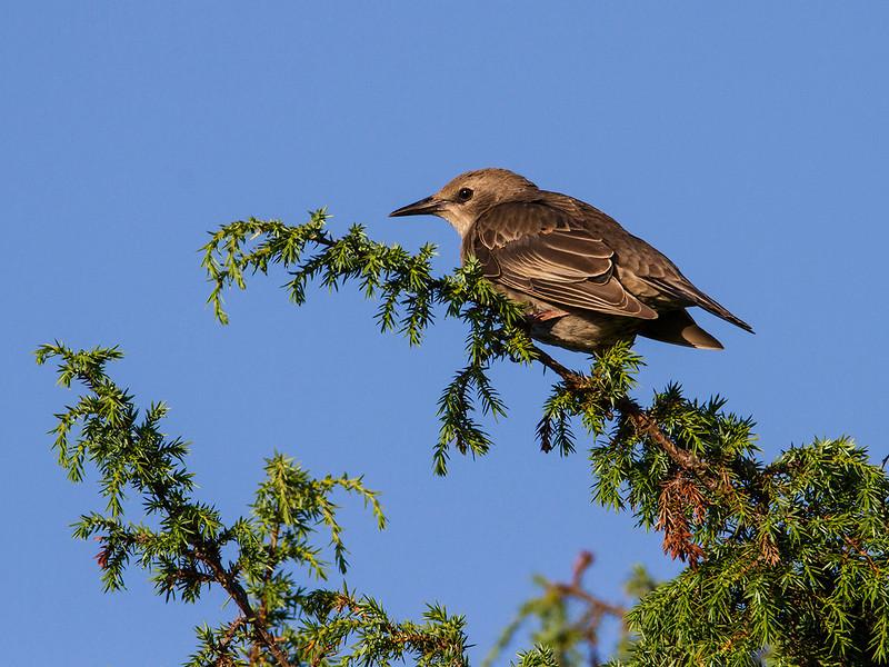 Stær / Eurasian Starling<br /> Beijershamn, Øland, Sverige 20.7.2014<br /> Canon EOS 7D + Tamron 150 - 600 mm 5,0 - 6,3 @ 552 mm