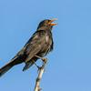 Svarttrost / Eurasian Blackbird<br /> Hou, Danmark 11.7.2014<br /> Canon EOS 7D + Tamron 150 - 600 mm 5,0 - 6,3
