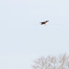 Sivhauk / Western Marsh-Harrier <br /> Ulvedybet, Danmark 12.4.2012<br /> Canon EOS 7D + EF 100-400 mm 4,5-5,6 L