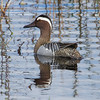 Knekkand / Garganey <br /> Lille Vildmose, Danmark 14.4.2014<br /> Canon EOS 7D + EF 100-400 mm 4,5-5.6 L