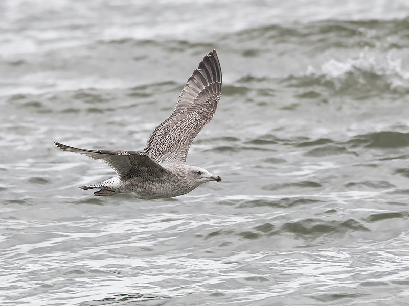 Gråmåke / European Herring Gull<br /> Hou, Danmark 29.3.2015<br /> Canon EOS 7D Mark II + Tamron 150 - 600 mm 5,0 - 6,3