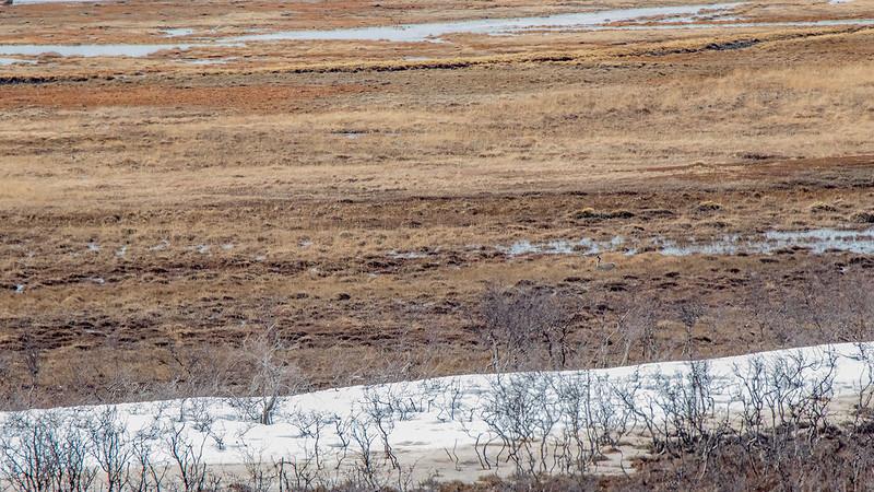 Trane / Common crane<br /> Valdakmyra, Finnmark 19.5.2017<br /> Canon 7D Mark II + Tamron 150 - 600 mm 5,0 - 6,3 G2