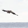 Havørn / White-tailed Eagle <br /> Slettnes fyr, Finnmark 21.5.2017<br /> Canon 7D Mark II + Tamron 150 - 600 mm 5,0 - 6,3 G2