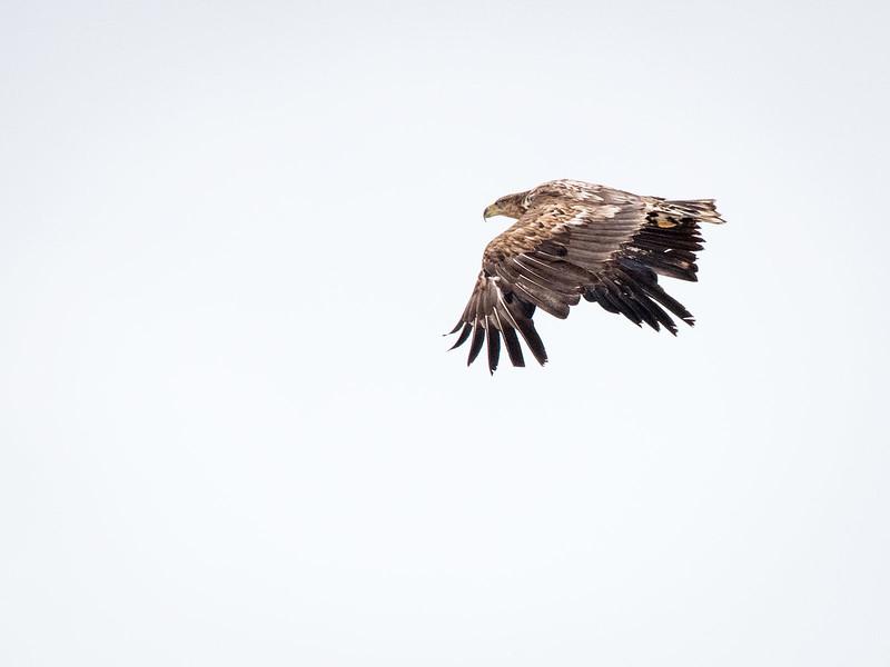 Havørn / White-tailed Eagle <br /> Valdakmyra, Finnmark 18.5.2017<br /> Canon 7D Mark II + Tamron 150 - 600 mm 5,0 - 6,3 G2