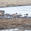 Sædgås /Bean Goose<br /> Valdakmyra, Finnmark 18.5.2017<br /> Canon 7D Mark II + Tamron 150 - 600 mm 5,0 - 6,3 G2