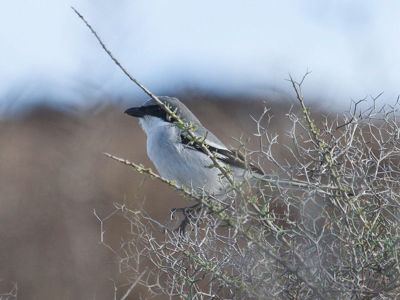 Varsler / Great Grey Shrike<br /> Fuerteventura, Kanariøyene 30.12.2012<br /> Canon EOS 7D + EF 100-400 mm 4,5-5,6 L