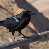 Ravn / Common Raven<br /> Fuerteventura, Kanariøyene 27.12.2012<br /> Canon EOS 7D + EF 100-400 mm 4,5-5,6 L