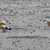 Rustand / Ruddy Duck<br /> Fuerteventura, Kanariøyene 27.12.2012<br /> Canon EOS 7D + EF 100-400 mm 4,5-5,6 L