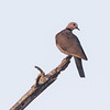 Rødøyedue / Red-eyed Dove<br /> Footsteps Lodge, Gambia 24.1.2016<br /> Canon 7D Mark II + Tamron 150 - 600 mm 5,0 - 6,3