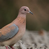 Palmedue / Laughing Dove<br /> Footsteps Lodge, Gambia 26.1.2016<br /> Canon 7D Mark II + Tamron 150 - 600 mm 5,0 - 6,3 @ 329 mm