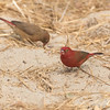 Rødnebbamarant / Red-billed Firefinch<br /> Tanji beach, Gambia 26.1.2016<br /> Canon 7D Mark II + Tamron 150 - 600 mm 5,0 - 6,3