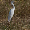 Duskhegre / Intermediate Heron<br /> Footsteps Lodge, Gambia 24.1.2016<br /> Canon 7D Mark II + Tamron 150 - 600 mm 5,0 - 6,3