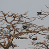 Langhaleglansstær / Long-tailed Glossy Starling<br /> Footsteps Lodge, Gambia 24.1.2016<br /> Canon 7D Mark II + Tamron 150 - 600 mm 5,0 - 6,3