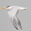 Kongeterne / Royal Tern<br /> Tanji reserve, Gambia 26.1.2016<br /> Canon 7D Mark II + Tamron 150 - 600 mm 5,0 - 6,3