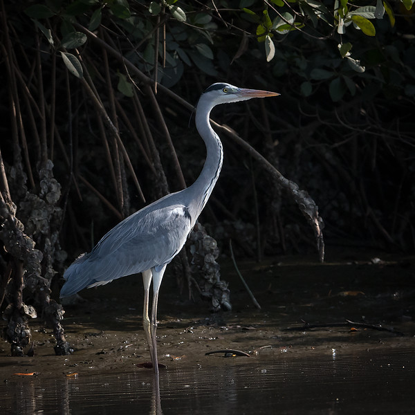 Gråhegre / Grey Heron<br /> Kartong, Gambia 25.1.2016<br /> Canon Mark II + Tamron 150 - 600 mm 5,0 - 6,3