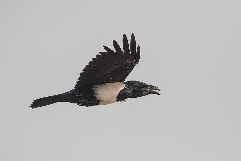 Hvitbrystkråke / Pied Crow<br /> Tanji beach, Gambia 26.1.2016<br /> Canon 7D Mark II + Tamron 150 - 600 mm 5,0 - 6,3 @ 552 mm