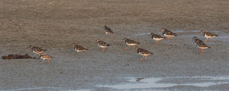 Steinvender / Turnstone<br /> Kartong, Gambia 25.1.2016<br /> Canon 7D Mark II + Tamron 150 - 600 mm 5,0 - 6,3