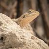 Agame / Agama lizard<br /> Tanji beach, Gambia 26.1.2016<br /> Canon 7D Mark II + Tamron 150 - 600 mm 5,0 - 6,3