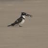 Terneisfugl / Pied Kingfisher<br /> Tanji reserve, Gambia 26.1.2016<br /> Canon Mark II + Tamron 150 - 600 mm 5,0 - 6,3
