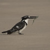 Terneisfugl / Pied Kingfisher<br /> Tanji reserve, Gambia 26.1.2016<br /> Canon 7D Mark II + Tamron 150 - 600 mm 5,0 - 6,3