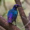 Purpurglansstær / Purple Glossy Starling<br /> Marekissa, Gambia 27.1.2016<br /> Canon 7D Mark II + Tamron 150 - 600 mm 5,0 - 6,3