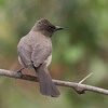 Hagebylbyl / Common Bulbul<br /> Footsteps Lodge, Gambia 26.1.2016<br /> Canon 7D Mark II + Tamron 150 - 600 mm 5,0 - 6,3 @ 329 mm